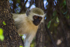 African Vivid Monkey sitting in the tree Royalty Free Stock Photos