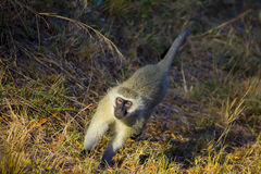 African Vivid Monkey Walking along the road Stock Photos