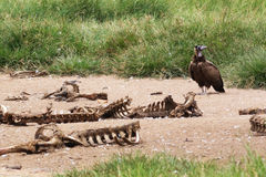 African Vulture and Bones. In grassland Stock Photo