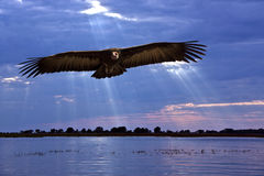 African Vulture - Caprivi Strip - Namibia Royalty Free Stock Photography