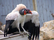 African Vulture. Displaying for public Royalty Free Stock Photo