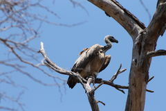 African Vulture. Massive African Vulture perched on tree Stock Photography