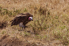 African vulture. Photo taken during the safari in Serengeti national park. Tanzania Stock Photo