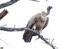 African vulture standing on top of a branch. African vulture on top of a branch stock photo
