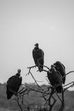 African Vultures. A group of vultures waiting for a meal Stock Images