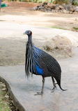African vulturine guineafowl in zoo. Beautiful african vulturine guineafowl with helmeted head(no feathers) & pretty blue & white feathers with spots. The bird Stock Images