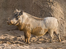 African Warthog. Side view of an African warthog. As a curiosity, this is the animal characterized as Pumbaa in the Lion King Royalty Free Stock Images
