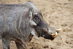 African warthog Royalty Free Stock Photos