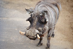 African warthog Stock Photography