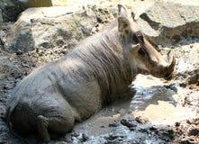 African Warthog / Boar Royalty Free Stock Photos