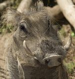 african warthog close up, kenya, africa Stock Photography