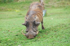 An african warthog Stock Photo
