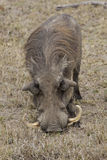 African warthog eating grass Royalty Free Stock Images