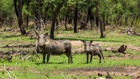 African warthog Royalty Free Stock Photos
