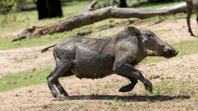 African warthog Royalty Free Stock Images