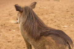 African warthog Royalty Free Stock Image