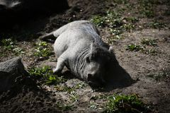 Warthog Resting Stock Image