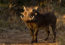 African warthog in the morning light Stock Image
