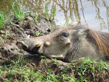 African Warthog in Mud. This large male warthog was seen in Kruger National Park, delightfully wallowing in the mud Stock Photo