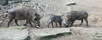 African warthog in nature royalty free stock photos