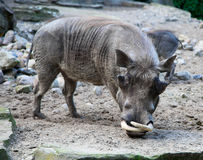African warthog in nature Royalty Free Stock Images