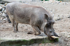 African warthog in nature Stock Images
