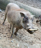African warthog in nature Stock Photography