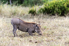 African warthog Stock Photos