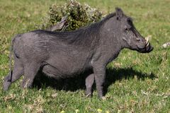 African Warthog Stock Images