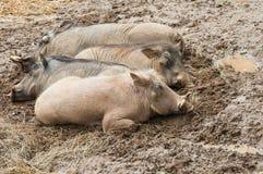African warthogs Stock Image