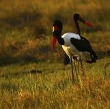 African Water Birds Beautiful Saddle-billed Storks stock photos