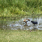 African Water Birds Royalty Free Stock Images
