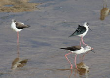 African water birds looking for food Stock Photography