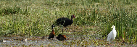African Water Birds. Red-billed Teal, White-faced Whistling Ducks, Cattle Egret, Spur-winged Goose Stock Photos