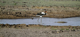 African Water Birds Stock Photo