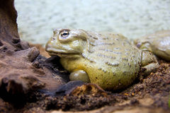 African water pot amphibian frog toad. Tailless burrowing frog terrarium hibernation Stock Photo