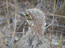 African Water Thickknee. Also called a dikkop, getting a close-up of it's face Stock Image