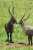 African waterbuck Stock Image