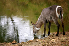 African Waterbuck Stock Photography
