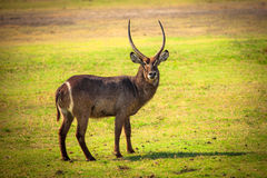 African Waterbuck Antelope Stock Photos