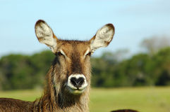 African Waterbuck Portrait. Female African Waterbuck closeup of head and face Royalty Free Stock Photo