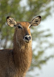 African waterbuck portrait Royalty Free Stock Image