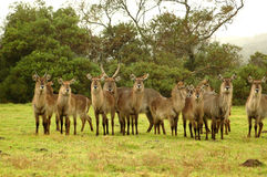 African Waterbucks Stock Photos