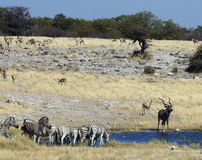 African Waterhole. A waterhole in Africa (Namibia) with a variety of wildlife all together Royalty Free Stock Photos