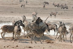 African Waterhole Action Stock Image