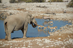 African Waterhole. Large male african elephant (Loxodonta africana) drinking at a water hole in Etosha National Park in Namibia Royalty Free Stock Photography
