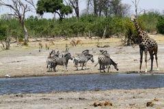 African Watering Hole Safari Highlights Stock Image