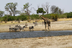 African Watering Hole Safari Highlights Royalty Free Stock Photo
