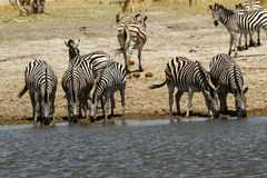African Watering Hole Safari Highlights Stock Image