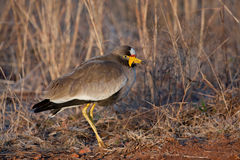 African Wattled Lapwing. In Rietvlei Nature Reserve, South Africa Stock Images